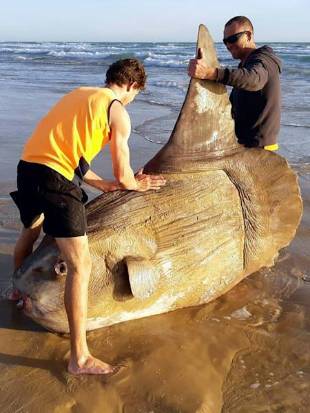 Experts say this enormous specimen was actually only average size and the species can grow up to 2.5 tons (2,200 kgs)