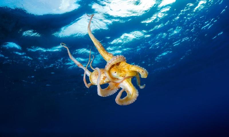 Octopuses show imagination and intention in much of their behaviour and habits.
