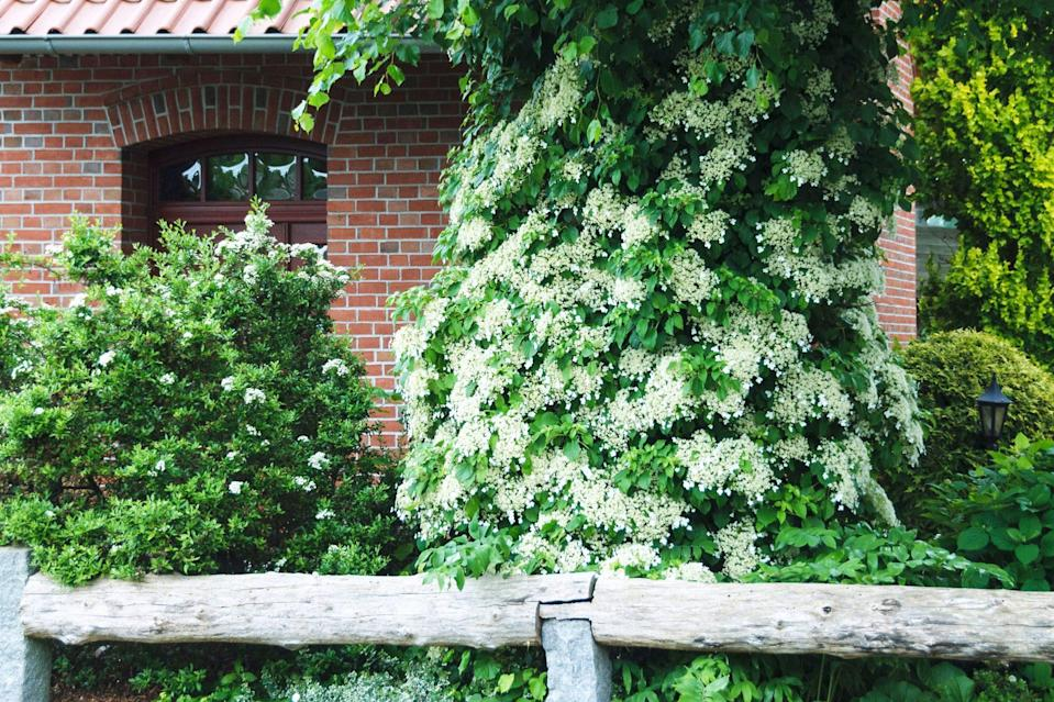 """<p>Unlike its shrub cousins, the <em>Anomala Petiolaris</em> hydrangea prefers to climb. """"While it doesn't have the same kind of showy flowers as more classic versions, it's cool because it will climb up a wall or a fence,"""" explains landscape designer Blythe Yost, the CEO and co-founder of <a href=""""https://tillydesign.com/"""" rel=""""nofollow noopener"""" target=""""_blank"""" data-ylk=""""slk:Tilly Design"""" class=""""link rapid-noclick-resp"""">Tilly Design</a>. """"Once it gets going, it doesn't need support because it has aerial roots that will cling to a wall."""" You'll just need to be careful, because like ivy, these roots can get left behind when the vine is removed (which can make it <a href=""""https://www.marthastewart.com/1542297/how-repot-your-houseplants"""" rel=""""nofollow noopener"""" target=""""_blank"""" data-ylk=""""slk:difficult to transplant"""" class=""""link rapid-noclick-resp"""">difficult to transplant</a>). Native to Japan, Korea, and Taiwan, this hydrangea thrives in USDA Hardiness Zones four through eight and in partial- to full-shade landscapes with plenty of room (it will need space to grow!).</p>"""