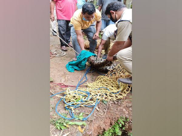 Visual of leopard being rescued in Assam (Photo/ANI)
