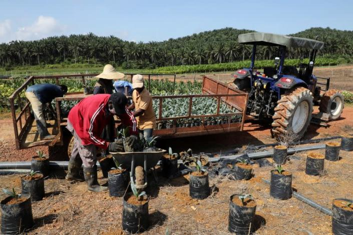 Workers unload oil palm seedlings at a plantation in Slim River