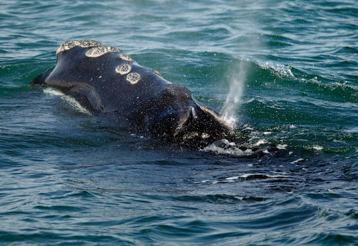 A North Atlantic right whale feeds on the surface of Cape Cod Bay off the coast of Plymouth, Mass. A group representing Maine's lobstermen is signaling a willingness to work with the federal government on a plan to protect right whales after pulling its support this summer.