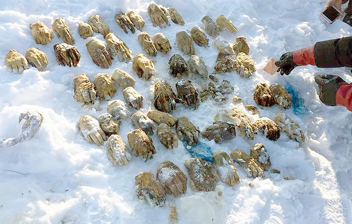 Riddle solved behind 54 severed hands found in Siberian snow