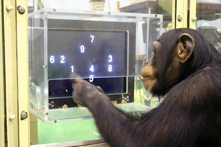 """In this Dec. 13, 2006 photo provided by the Primate Research Institute of Kyoto University, a 5 1/2-year-old chimpanzee named Ayumu performs a memory test with randomly-placed consecutive Arabic numerals, which are later masked, accurately duplicating the lineup on a touch screen computer in Kyoto, Japan. The young chimpanzees in the study titled """"Working memory of numerals in chimpanzees"""" by Sana Inoue and Tetsuro Matsuzawa could memorize the nine numerals much faster and more accurately than human adults. The evidence that animals are more intelligent and more social than we thought seems to grow each year, especially when it comes to primates. It's an increasingly hot scientific field with the number of ape and monkey cognition studies doubling in recent years, often with better technology and neuroscience paving the way to unusual discoveries. (AP Photo/Primate Research Institute of Kyoto University) PART OF A SEVEN-PICTURE PACKAGE WITH """"ANIMAL SCIENCES"""""""