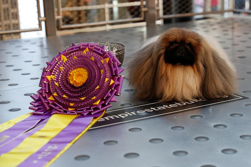 Wasabi, a Pekingese of East Berlin, Pennsylvania sits after winning the Best in Show at the 145th Westminster Kennel Club Dog Show during a photo opportunity at the Empire State Building in New York City, U.S., June 14, 2021. REUTERS/Shannon Stapleton