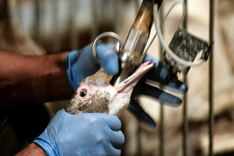 Force-feeding of ducks and geese will no longer be an issue if a French start-up is successful in its efforts to bring lab-grown foie gras to market