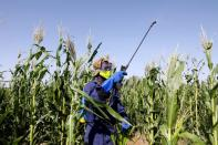 A man sprays pesticides against desert locust in a maize field in the village of Nadooto near the town of Lodwar, Turkana county