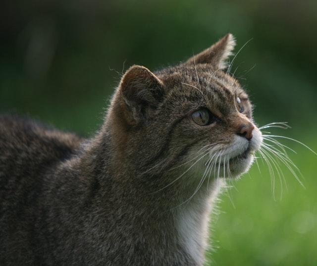 Wildcats are classed as critically endangered in the assessment (Martin Keene/PA)