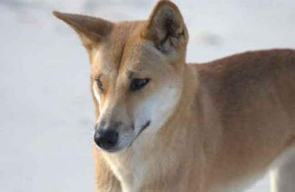 A female dingo, Queensland, Australia. Research shows that although dingos are no longer domesticated, they still retain the ability to read human gestures.