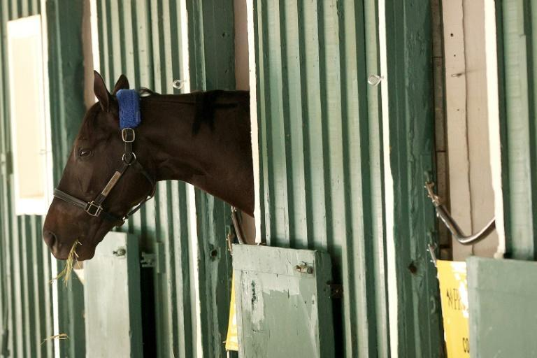 Kentucky Derby winner Medina Spirit looks out of his stall at Pimlico, where he is stabled ahead of Saturday's Preakness, the second jewel is US flat racing's Triple Crown