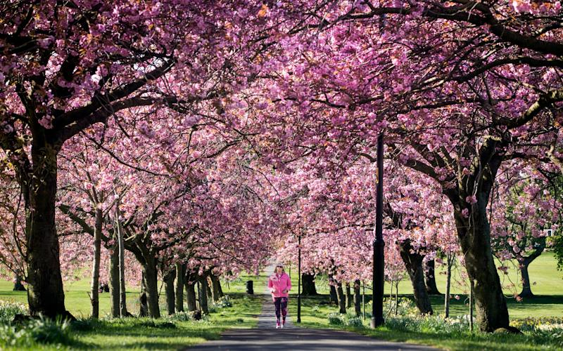 A woman walks along a path lined with cherry blossoms in Harrogate, Yorkshire - Danny Lawson/PA