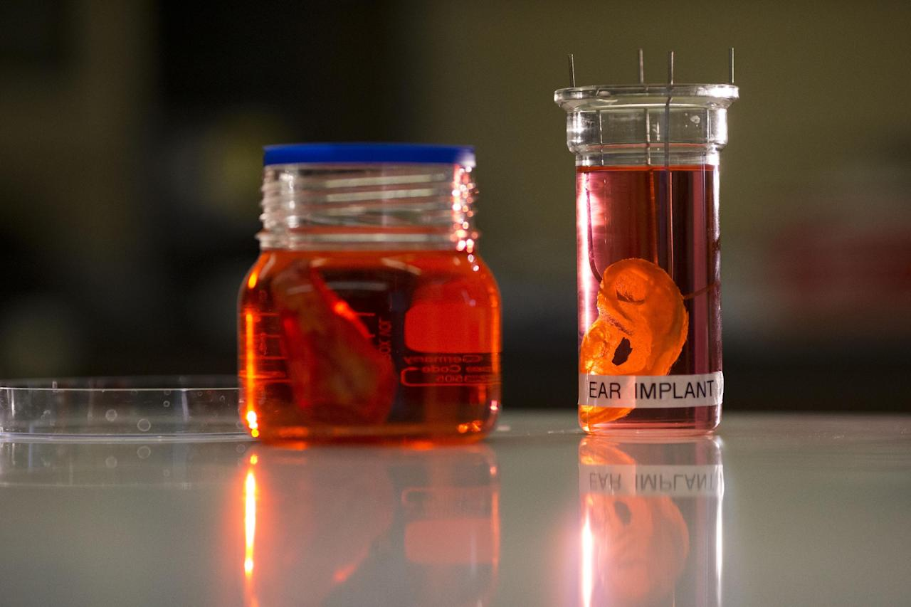 "A synthetic polymer nose, left, and ear are posed to be photographed at a research facility in the Royal Free Hospital in London, Monday, March 31, 2014. In a north London hospital, scientists are growing noses, ears and blood vessels in the laboratory in a bold attempt to make body parts using stem cells. It is among several labs around the world, including in the U.S., that are working on the futuristic idea of growing custom-made organs in the lab. While only a handful of patients have received the British lab-made organs so far— including tear ducts, blood vessels and windpipes — researchers hope they will soon be able to transplant more types of body parts into patients, including what would be the world's first nose made partly from stem cells. ""It's like making a cake,"" said Alexander Seifalian at University College London, the scientist leading the effort. ""We just use a different kind of oven."" (AP Photo/Matt Dunham)"