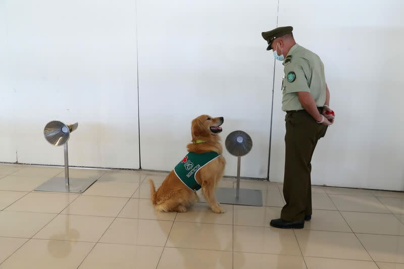 FILE PHOTO: Sniffer dogs trained to detect the coronavirus disease (COVID-19) in highly frequented places in Santiago