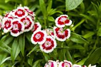 <p>Dianthus live within the carnation family, and are most often used to edge a bed or in pots. They emit a spicy fragrance that's perfect for fall, with hints of cinnamon and clove.</p><p><strong>When it blooms: </strong>May to October</p><p><strong>Where to plant:</strong> Partial shade to full sun (~6 hours a day)</p><p><strong>When to plant: </strong>Spring, after last frost</p><p><strong>USDA Hardiness Zones: </strong>3 to 9</p>