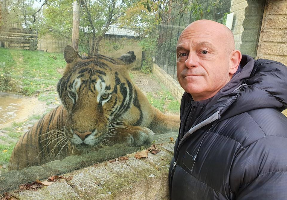 Ross Kemp with one of a collection of 5 rare Bengal Tigers at Heythrop Zoological Garden in Oxfordshire. (Honey Bee Media/ITV)
