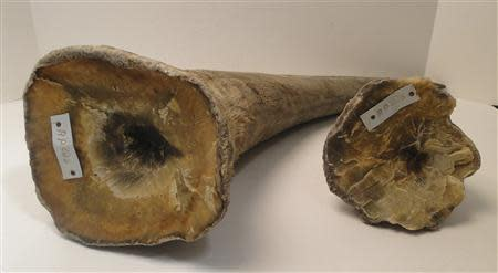 Rhino horns are pictured in this undated handout photo courtesy of the United States Attorney's Office, District of New Jersey. REUTERS/United States Attorney's Office, District of New Jersey/Handout