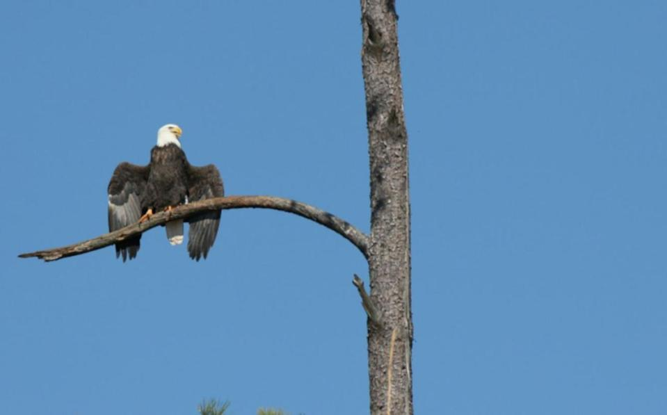 Cause of mysterious autumn bald eagle deaths pinpointed in new study
