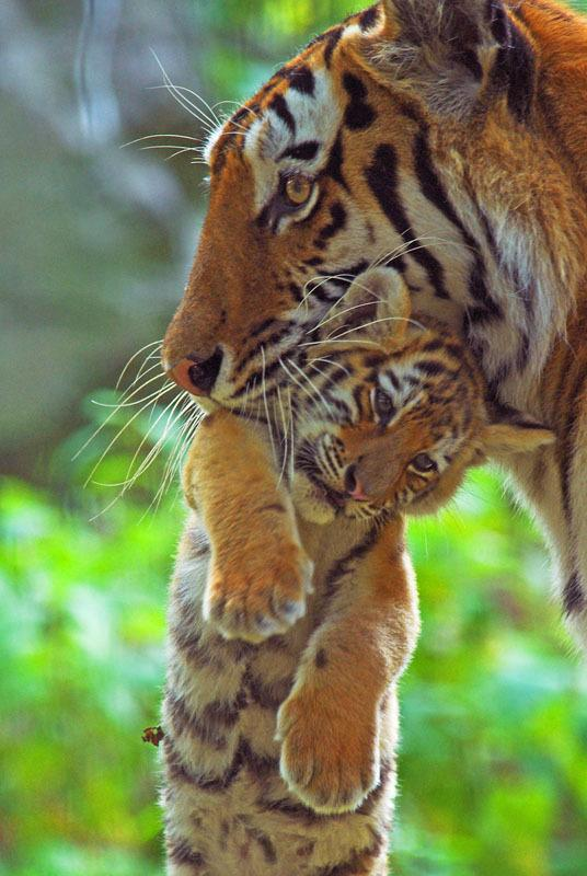 Siberian tiger (Panthera tigris altaica) carrying young cub in mouth, captive