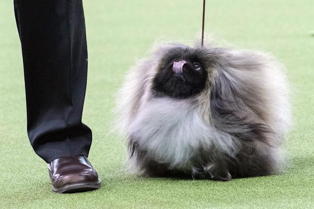 <p>Bernie, a Pekingese, competes in the Toy group during the 142nd Westminster Kennel Club Dog Show, Monday, Feb. 12, 2018, at Madison Square Garden in New York. (Photo: Mary Altaffer/AP) </p>