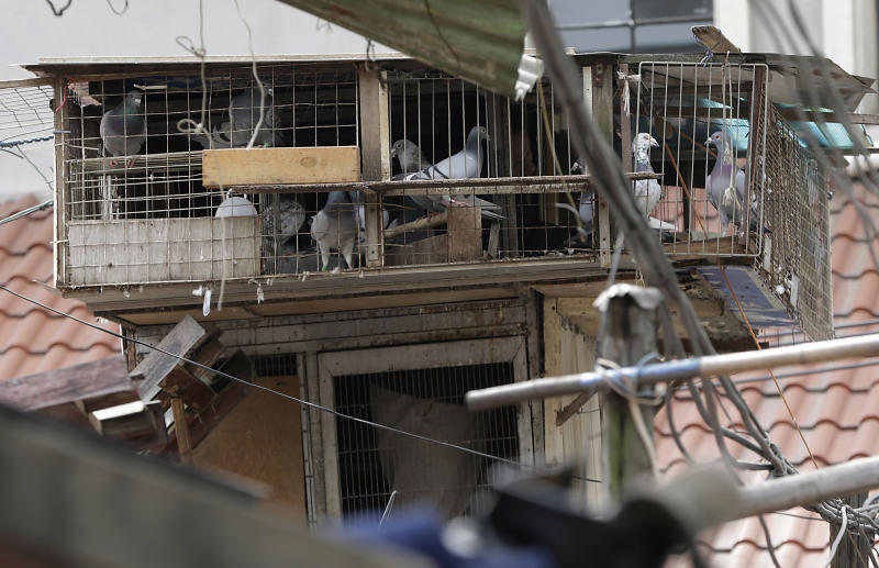 A breeder cares pigeons in a cage on the rooftop in Shanghai, China Wednesday, April 10, 2013. China sayid two more people have died of a new strain of bird flu, bringing the death toll to nine. Shanghai has suspended sales of live poultry. (AP Photo/Eugene Hoshiko)