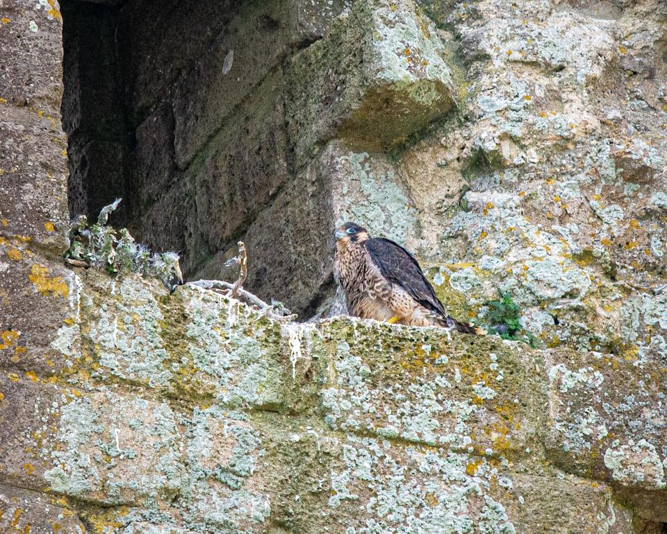 Peregrine falcon chick at Corfe Castle (Neil Davidson/National Trust/PA)