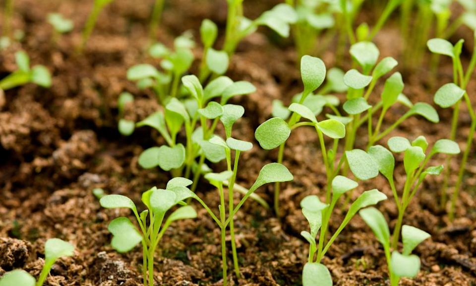 Young rocket salad plants seedlings close up growing in a seed tray