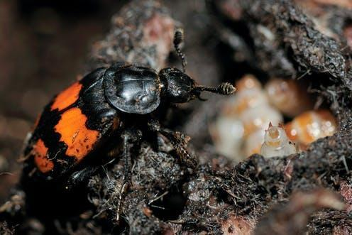 """<span class=""""caption"""">A female burying beetle caring for her brood. </span> <span class=""""attribution""""><span class=""""source"""">Oliver Krueger</span></span>"""