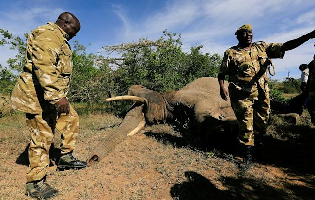 <p>Kenya Wildlife Service (KWS) rangers prepare to load a tranquillized elephant on to a truck during a translocation exercise to Ithumba Camp in Tsavo East National Park, in Solio Ranch in Nyeri County, Kenya, Feb. 21, 2018. (Photo: Thomas Mukoya/Reuters) </p>