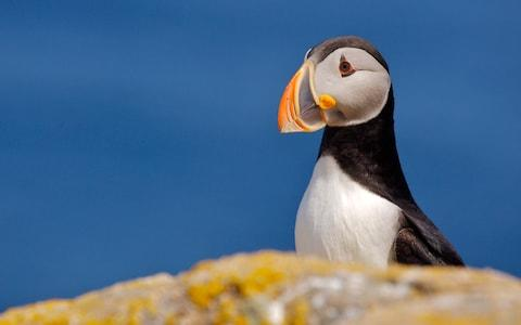 """""""Atlantic puffins were packed as thickly as Tokyo commuters"""" - Credit: GETTY"""