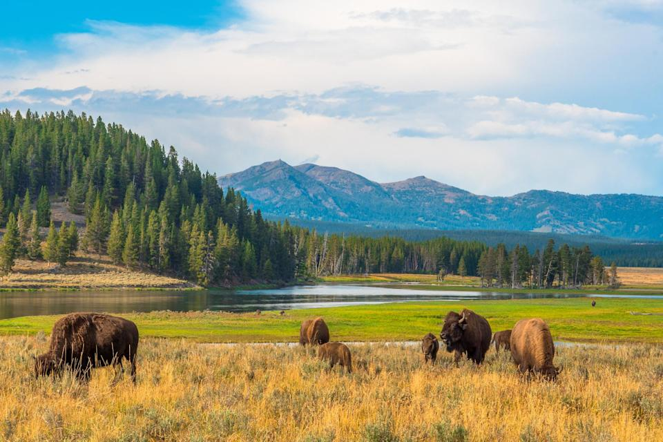 yellowstone national park Credit: Manel Vinuesa. iStock / Getty Images Plus