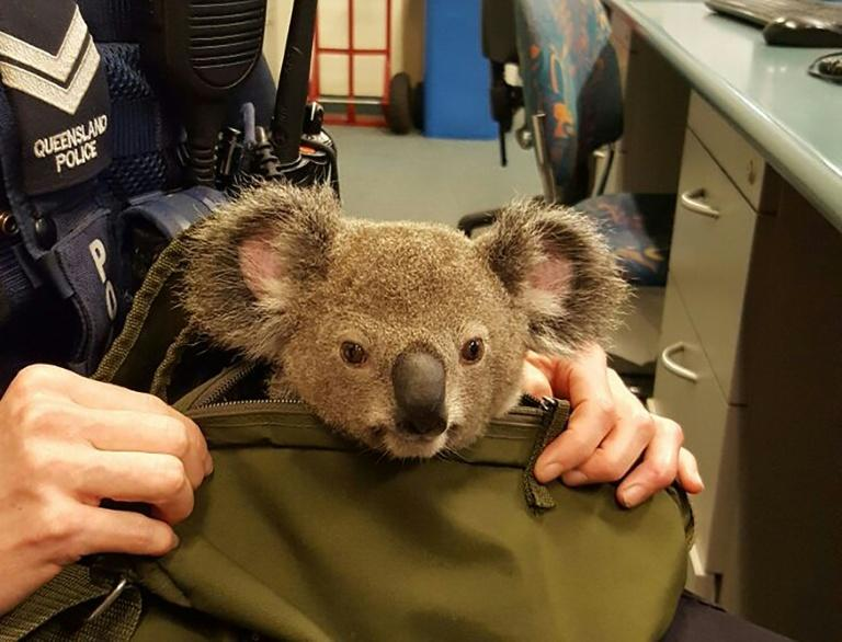 A police officer takes care of a baby koala in Brisbane after it was found hidden in the bag of a woman they arrested on an unrelated matter