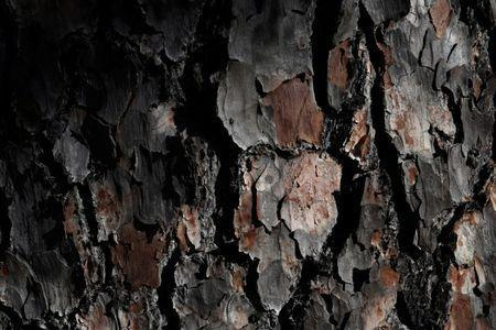 Close up of pine bark along the first fairway during 2017 Masters practice round play at Augusta National Golf Club in Augusta, Georgia, U.S. April 4, 2017. REUTERS/Jonathan Ernst