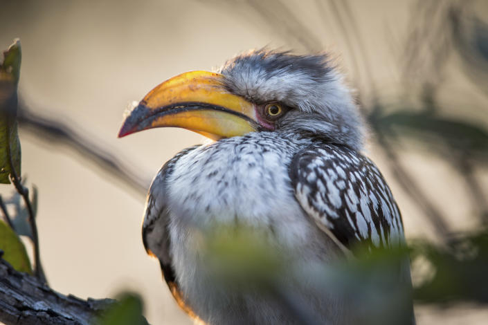 A yellow-billed hornbill at Bwabwata National Park in Namibia. (Photo: Will Burrard-Lucas/Caters News)