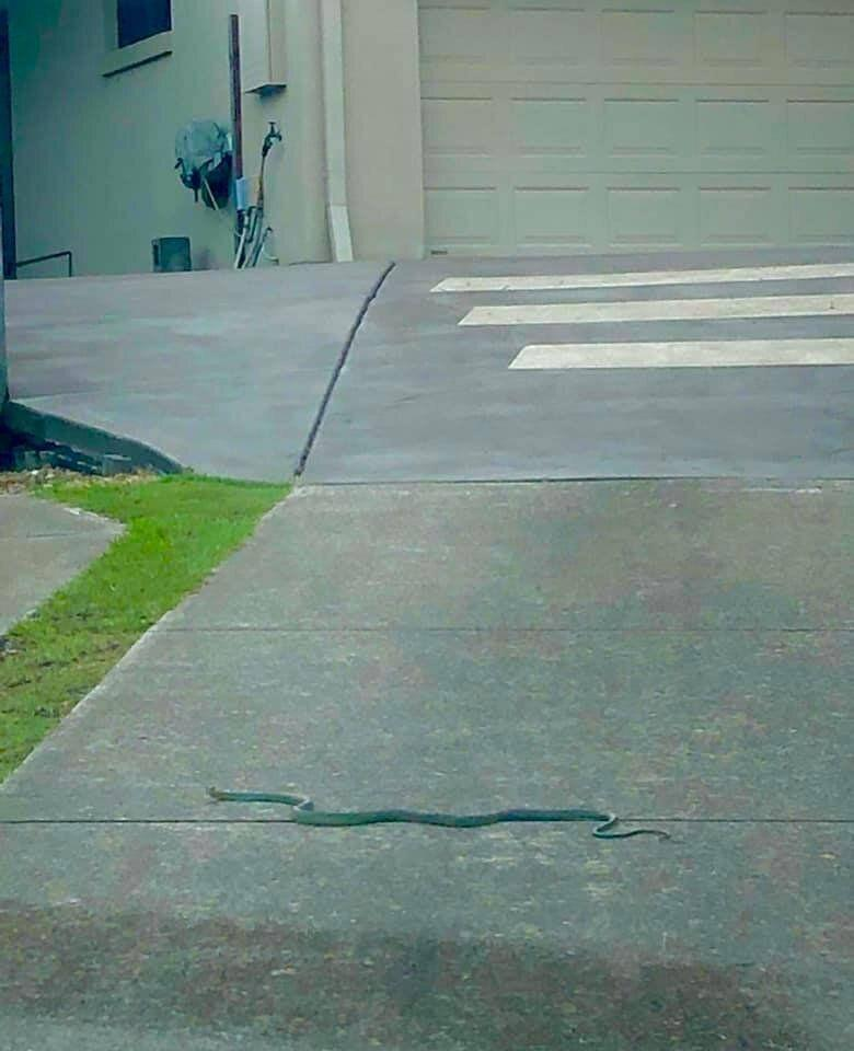 The page challenged the public to try and guess what snake was hiding in the greenery. Source: Facebook/Brisbane Snake Catchers