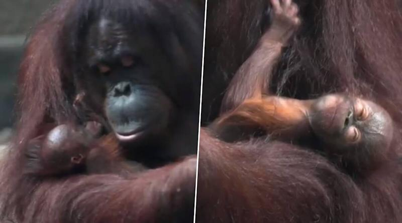 Surprise Entry! Critically Endangered Bornean Orangutan in Chester Zoo Gives Birth Despite Negative Pregnancy Test, Watch Cute Video of The Inseparable Mother-Child