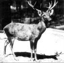 """<p> Schomburgk's deer was native to Thailand and was named after German-born explorer, Sir Robert H. Schomburgk, who was <a href=""""https://www.britannica.com/biography/Robert-Hermann-Schomburgk"""" rel=""""nofollow noopener"""" target=""""_blank"""" data-ylk=""""slk:knighted in 1844"""" class=""""link rapid-noclick-resp"""">knighted in 1844</a>.</p><p>Some scientists believe that there may still be a few of these deer in the wild even though they were officially declared extinct in 2006 with the last known deer reportedly <a href=""""https://itsnature.org/rip/schomburgks-deer/"""" rel=""""nofollow noopener"""" target=""""_blank"""" data-ylk=""""slk:killed in captivity in 1938"""" class=""""link rapid-noclick-resp"""">killed in captivity in 1938</a>.</p><p><strong>Cause of Extinction:</strong> Besides humans, Schomburgk's deer were hunted by native tigers and leopards. Today, we only know of one mounted deer head which resides in Paris' Muséum National d'Histoire Naturelle. </p>"""