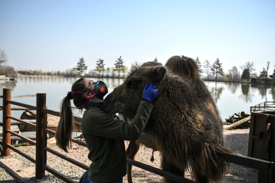 """A keeper pets a camel at the """"Zoom Torino"""" zoo on March 18, 2020 in Cumiana, near Turin, during the country's lockdown within the new coronavirus crisis. - During the COVID-19 emergency the zoo is closed but keepers and veterinaries go on taking care of animals. (Photo by MARCO BERTORELLO / AFP) (Photo by MARCO BERTORELLO/AFP via Getty Images)"""