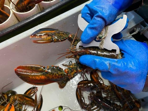 A lobster caught off P.E.I. is measured in this file photo from May 2021. DFO officers in Cape Breton returned hundreds of undersized lobsters to the water Tuesday night after boarding a First Nations vessel. (Jada Yeo - image credit)