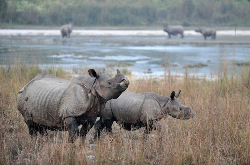 Thousands of one-horned rhinos once roamed the southern plains of Nepal but rampant poaching and pressures of human encroachment reduced their numbers to around 100 in the later part of last century (AFP Photo/Prakash MATHEMA)