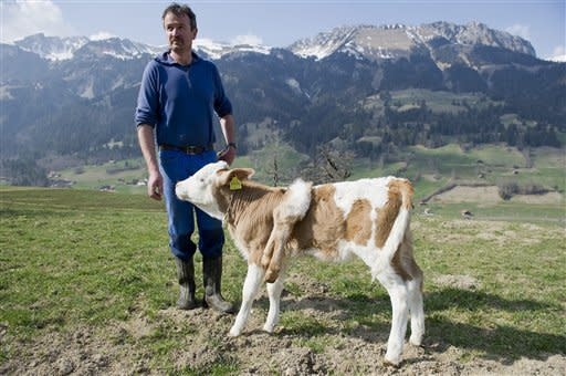 "Six-legged calf ""Lilli"" stands on the pasture of its owner Andreas Knutti, in Weissenburg, Switzerland, Thursday, March 29, 2012. The calf was born seven weeks ago with two additional legs on its back. (AP Photo/Keystone/Peter Schneider)"