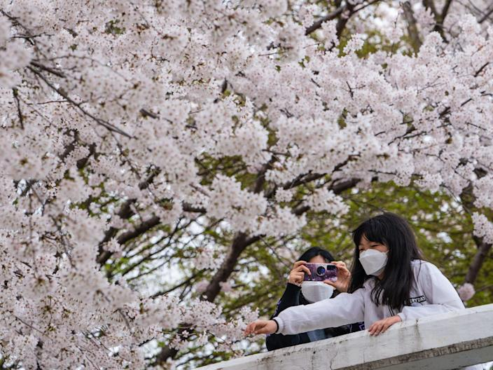 Women wearing face masks take photos in front of blooming cherry trees in Seoul.