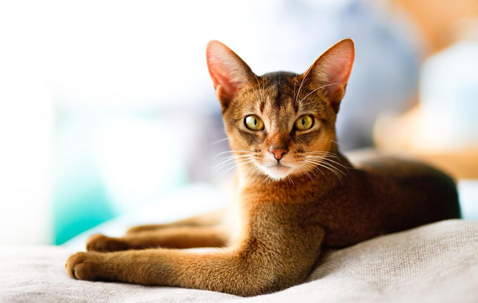 """<p>These regal beauties known as <a href=""""https://www.dailypaws.com/cats-kittens/cat-breeds/abyssinian"""" rel=""""nofollow noopener"""" target=""""_blank"""" data-ylk=""""slk:Abyssinians"""" class=""""link rapid-noclick-resp"""">Abyssinians</a> are natural explorers that like to socialize and follow their people around the house. Because they observe the world from a high vantage point, establishing multi-level cat shelving or scratching posts make them feel at home. Oftentimes, they will converse with you in soft, pleasant chirps.</p>"""