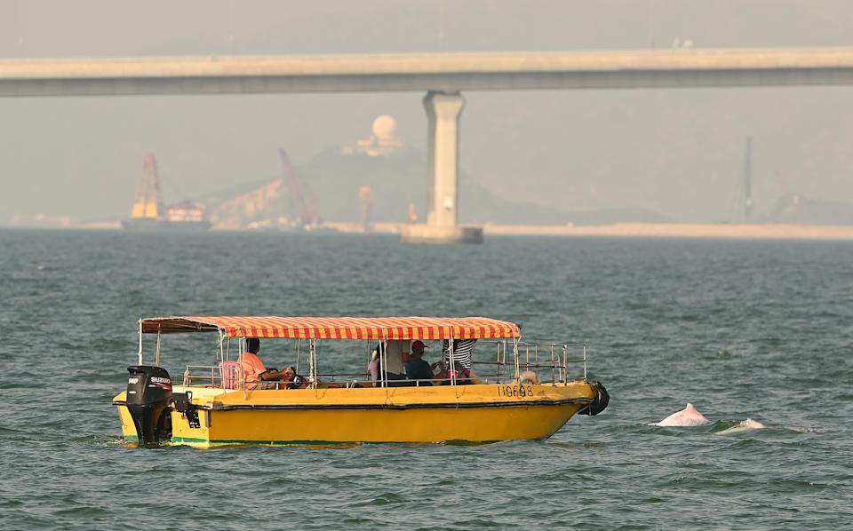 Construction work has a significant impact on dolphins' habitats. The photo shows the Hong Kong-Zhuhai-Macao Bridge in the background (PETER PARKS/AFP via Getty Images)