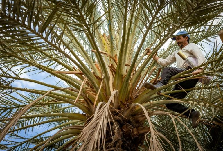 Many in Figuig are reliant on date palms for their livelihoods