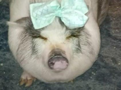 Honey, an emotional support pig, died after the vehicle she was in was stolen in Houston, Texas (KHOU11)