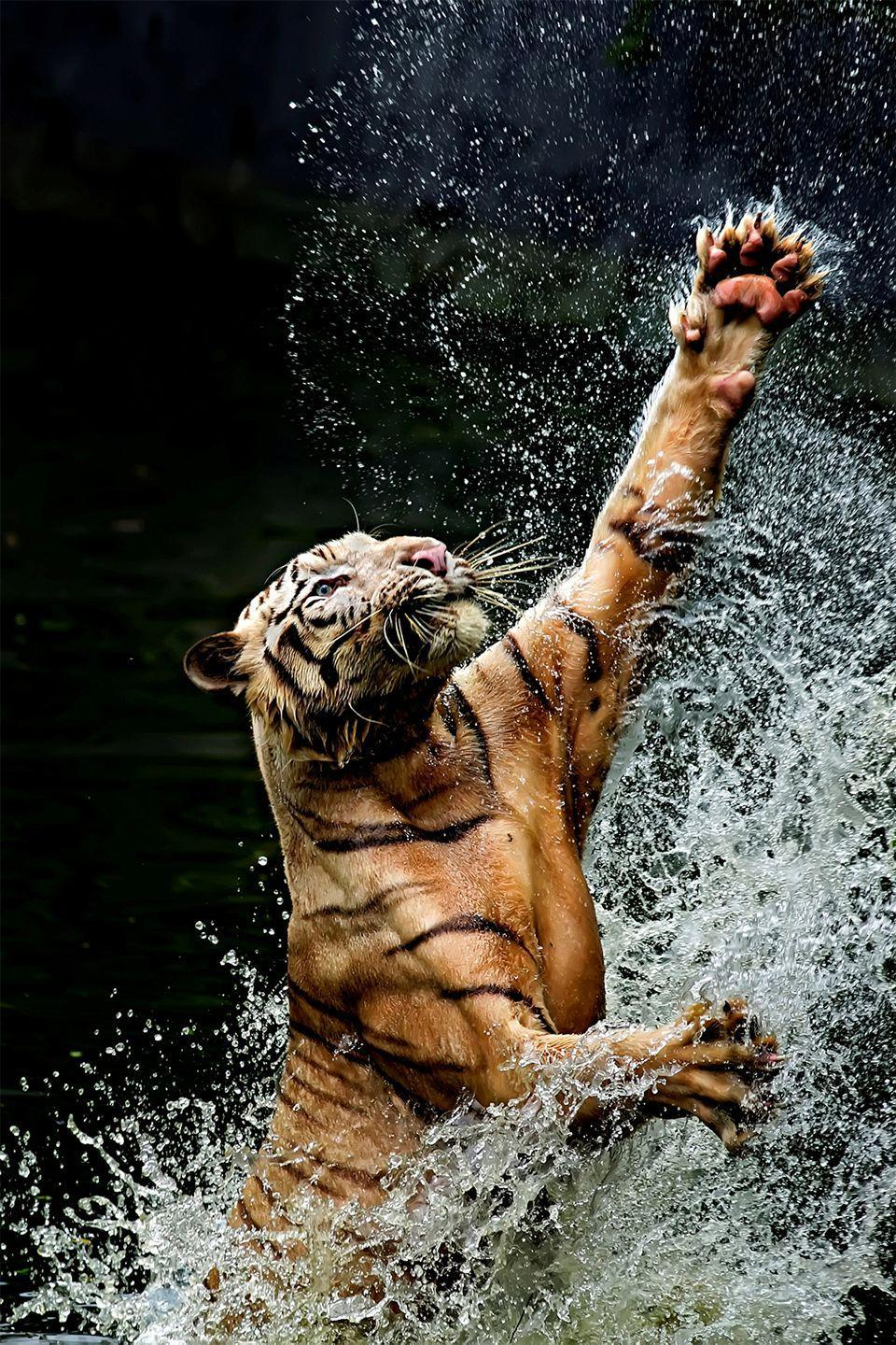 <p>Bengal tigers are native to India, and are known carnivores. A hungry tiger can eat as much as 60 pounds of meat in one meal, and if it can't finish, it usually buries it in the ground to save for a snack later.</p>