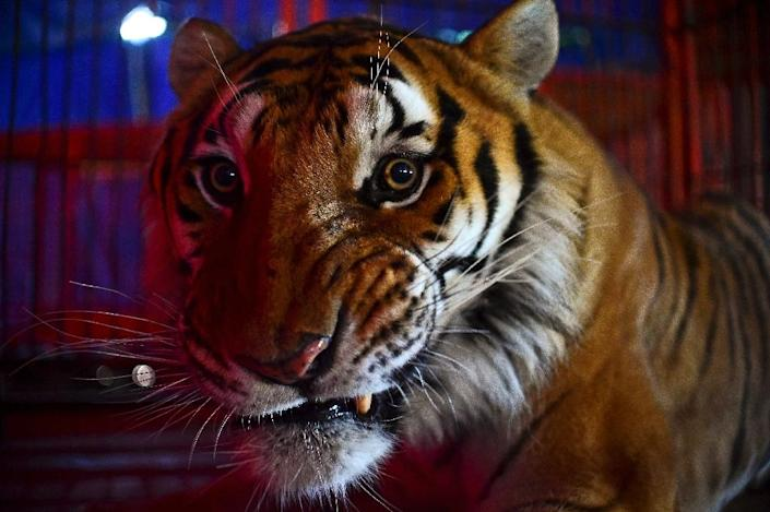 A tiger is seen in a cage at the Hermanos Cedeno circus in Chimalhuacan, Mexico, on July 7, 2015 (AFP Photo/Ronaldo Schemidt)