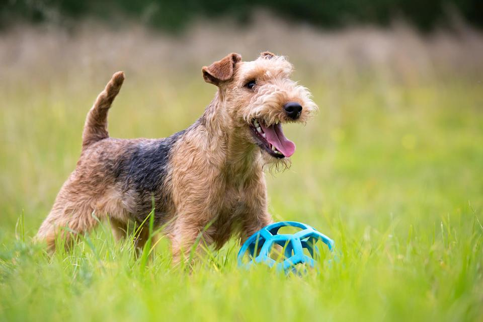 """<p>The <a href=""""https://www.akc.org/dog-breeds/lakeland-terrier/"""" rel=""""nofollow noopener"""" target=""""_blank"""" data-ylk=""""slk:Lakeland Terrier"""" class=""""link rapid-noclick-resp"""">Lakeland Terrier</a> resembles a big teddy bear with its wiry autumn-rusty brown coat. Known to protect sheep from foxes back in England, this breed has a reputation for fending off other vermin.</p>"""