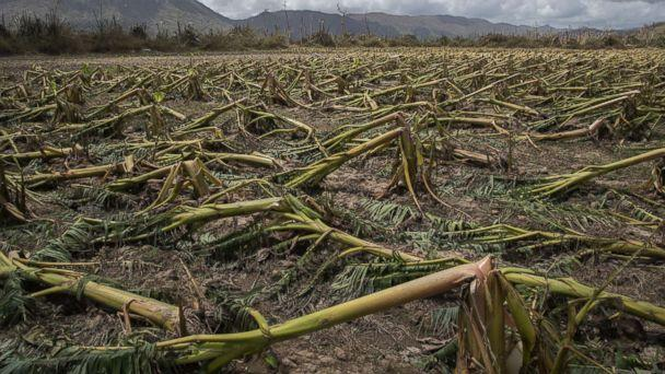 PHOTO: Flattened plantain trees line the ground in Yabucoa, Puerto Rico, Sept. 24, 2017. (Victor J. Blue/The New York Times via Redux)