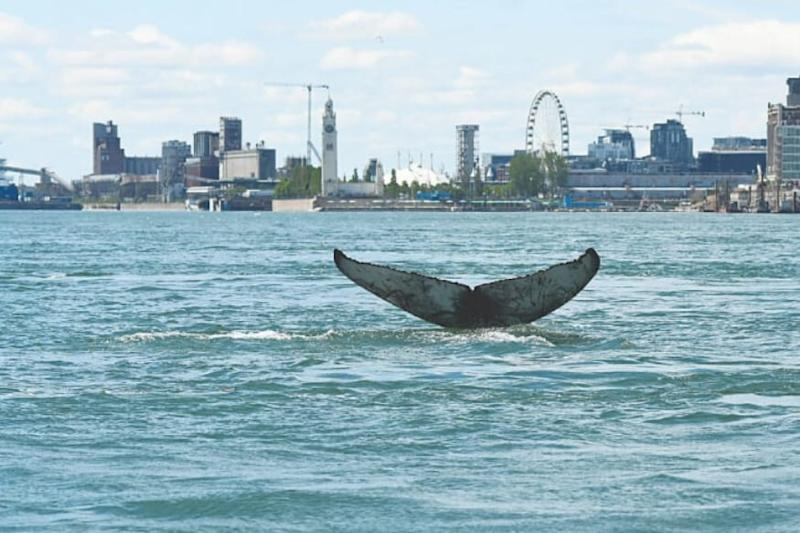 Unusual Visitor: A Humpback Whale was Spotted in a Major Candian River